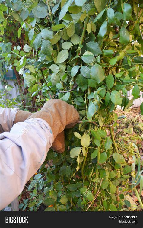 pruning climbing roses winter mound tie rose bush pruning image photo bigstock