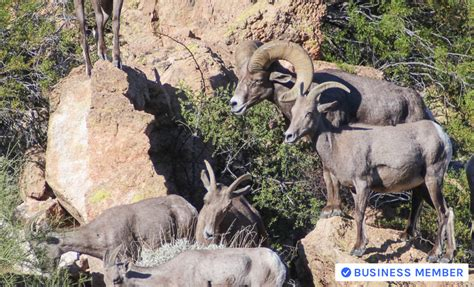 how to accurately age bighorn sheep gohunt