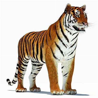 Tiger 3d Amur Turbosquid Models