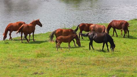horses grazing land wild pasture hd shutterstock river near fps rural footage
