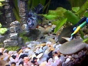 Goldfish Velo e Neon Chino Gold