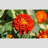 Marigold Flower Wallpaper | 1280 x 768 jpeg 226kB