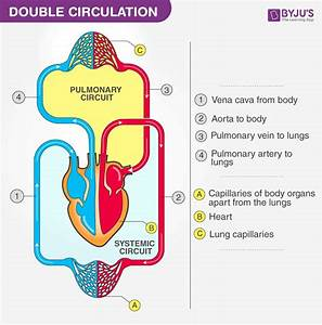 Double Circulation - Blood Circulation In Humans
