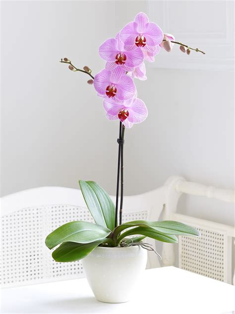 how to grow orchids pink phalaenopsis orchid