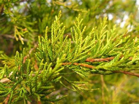 Different Types of Red Cedar Trees