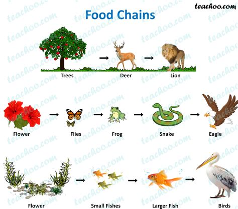 food chain  food web meaning diagrams examples