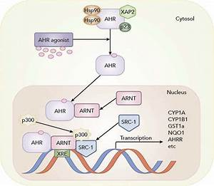 The Aryl Hydrocarbon Receptor  Ahr  Pathway  The Pathway