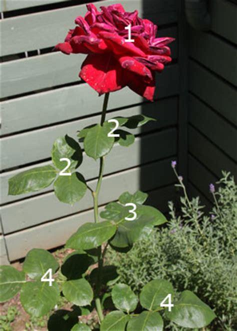 deadheading roses deadheading roses