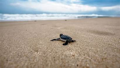 Turtle Laptop Sea Wallpapers Backgrounds Background Wallpaperaccess