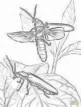 Coloring Fireflies Pages Eastern Common Firefly Drawing Printable Getdrawings Paper sketch template