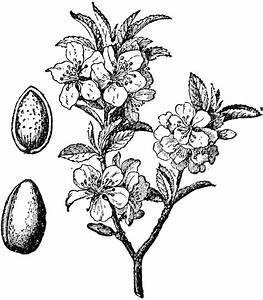 Almond Tree and Fruit | ClipArt ETC