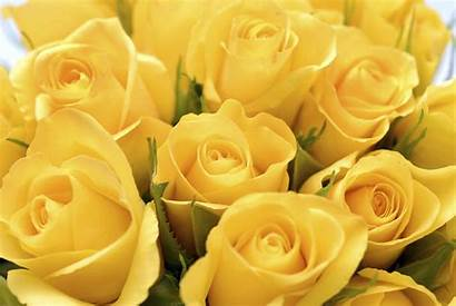 Roses Yellow Rose Colors Bouquet Different Background