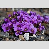 Purple Saxifrage   300 x 199 jpeg 37kB