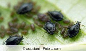 Hausmittel Gegen Spinnen : hausmittel gegen blattl use l use biologisch bek mpfen ~ Whattoseeinmadrid.com Haus und Dekorationen