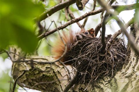 large squirrel nests   trees