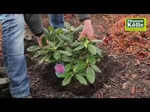 Rhododendron Blüten Schneiden : rhododendron einpflanzen im garten pflanzen k lle youtube ~ A.2002-acura-tl-radio.info Haus und Dekorationen