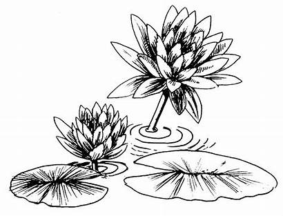 Lily Water Clipart Drawing Pad Lilies Coloring