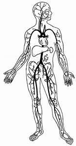 Circulatory System Drawing At Getdrawings