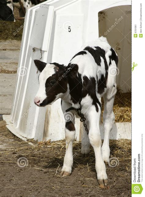 young dairy   shelter stock image image