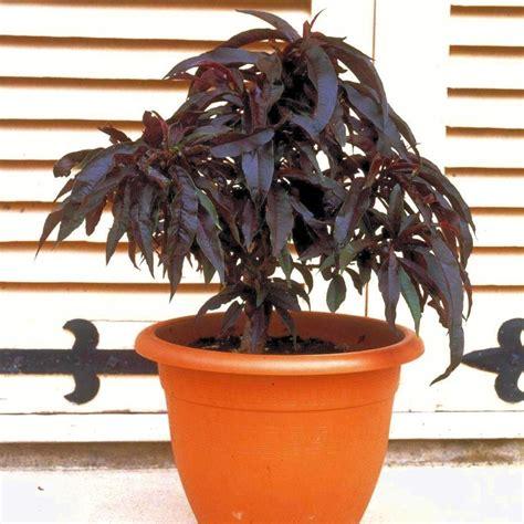 p 234 cher nain crimson 174 en pot plantes et jardins