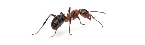 ant service ant control service whelan pest prevention pest control freephone 0800 678 5029
