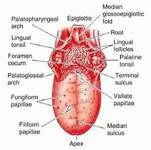 Human Anatomy 4C: Diagram of Tongue