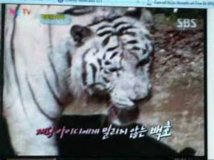 Lion vs Tiger - Who Wins? by JiaLiFeh - Watch and Free ...