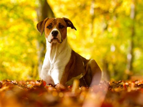 Fall Backgrounds Dogs by 47 Fall Wallpaper With Dogs On Wallpapersafari