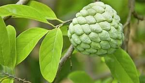 Exotische Früchte Im Eigenen Garten : cherimoya exotische fr chte pflanzen im eigenen garten ~ Lizthompson.info Haus und Dekorationen