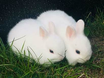 Dwarf Rabbit Netherland Eyed Pure Lovely Rabbits