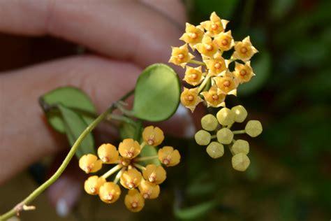 blog de manuela hoya picta semillas