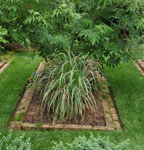 lemongrass landscaping lemongrass edible landscaping