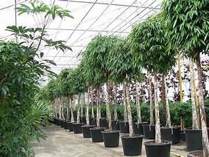 Tropische Pflanzen Kaufen : tropische blattpflanzen raumpflanzen exotische pflanzen mit preise incl lieferung kaufen ~ Watch28wear.com Haus und Dekorationen