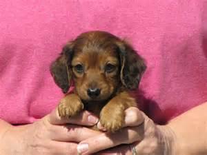 Red Dachshund Puppies