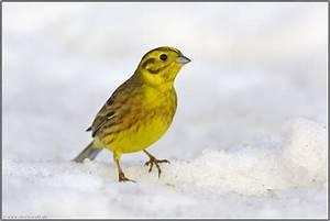Singvögel Im Garten : auf stippvisite goldammer emberiza citrinella ~ Whattoseeinmadrid.com Haus und Dekorationen