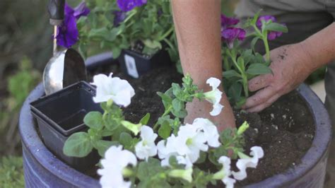how far apart to plant petunias how far apart do you plant petunias how to grow maintain garden plants youtube