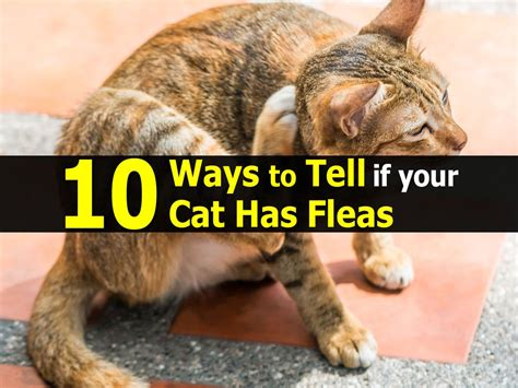 how to tell if a cat is or 10 ways to tell if your cat has fleas