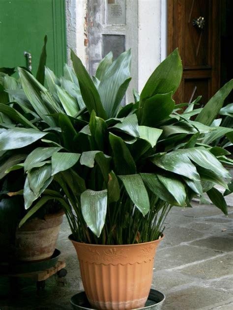 Schusterpalme Als Zimmerpflanze by Zimmerpflanze F 252 R Jedes Zimmer Passend Ausw 228 Hlen