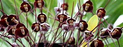 how to get orchids to bloom how to grow monkey face orchids from seed a warning the garden of eaden