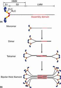 The Anatomy Of Myosin Ii   A  Basic Domain Structure Of A