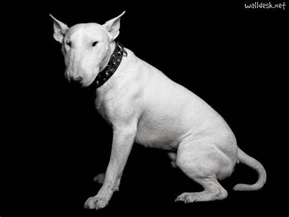 Bull Terrier Dogs Naughty Should Know Things