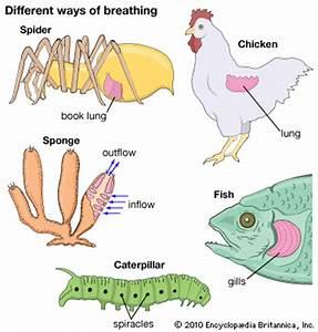 respiration -- Kids Encyclopedia | Children's Homework ...