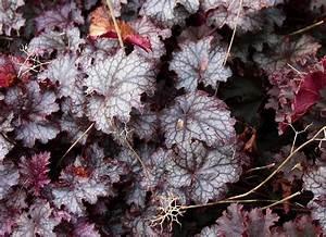 Immergrüne Winterharte Kübelpflanzen : heuchera hybriden kaufen purpurgl ckchen welche ~ Markanthonyermac.com Haus und Dekorationen