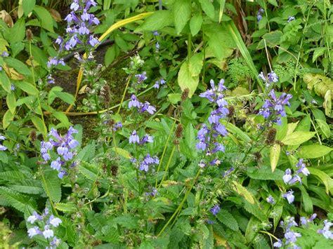 Blaue Stauden Winterhart by Pflanzen Vielfalt Der Saatgut Shop Stauden Samen Beet