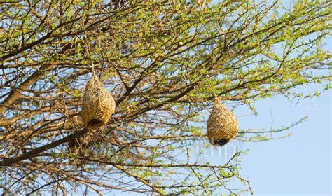 Amazing Weaver Bird nests hang in trees in Botswana, Africa - THPStock