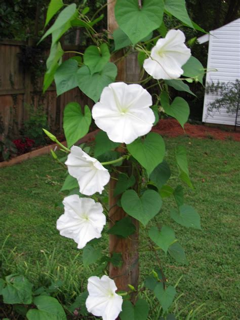 moon plant flowering vines on pinterest clematis morning glories and morning glory flowers