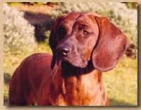 Società amatori cani da traccia::..