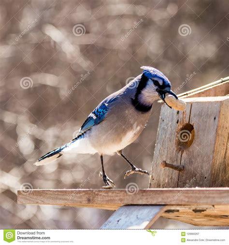 happy blue jay eating  peanut stock image image  boardwalk blur