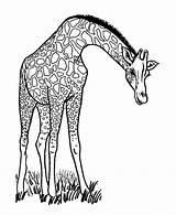 Coloring Pages Giraffe Animal sketch template
