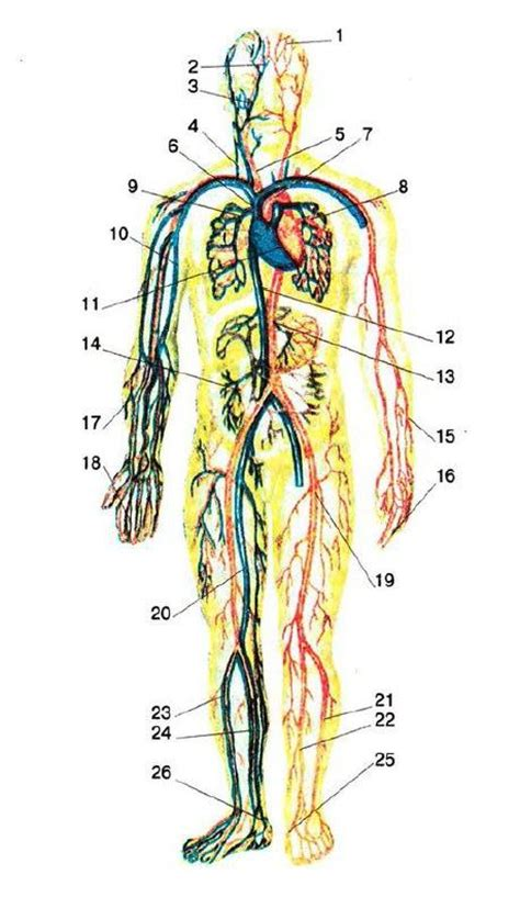 Essay On Pulmonary Circulation by Pulmonary And Systemic Circulation What Is Definition